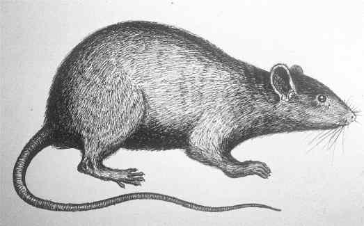 dessin rat - copie
